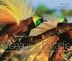 Couverture : Oiseaux de paradis.Les oiseaux les plus extraordinaires du monde Tim Laman, Edwin Scholes